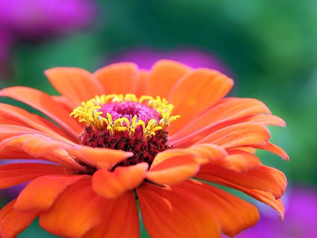 Zinnia, Flower, Petals, Orange Flower, Bloom, Blossom