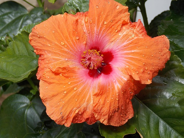 Hibiscus, Flower, Orange