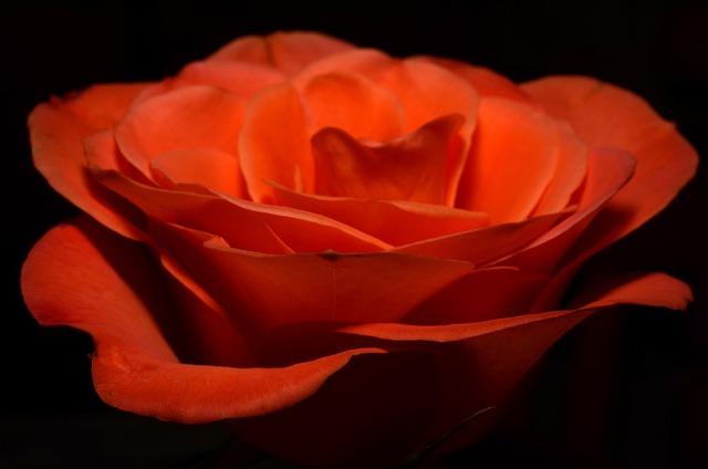 Ros, Orange, Flower