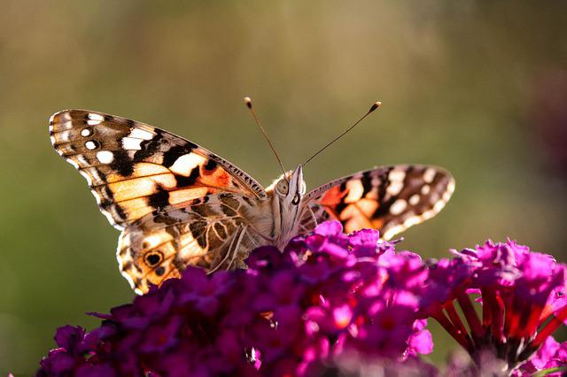 Butterfly, Painted Lady, Insect, Nature, Flower
