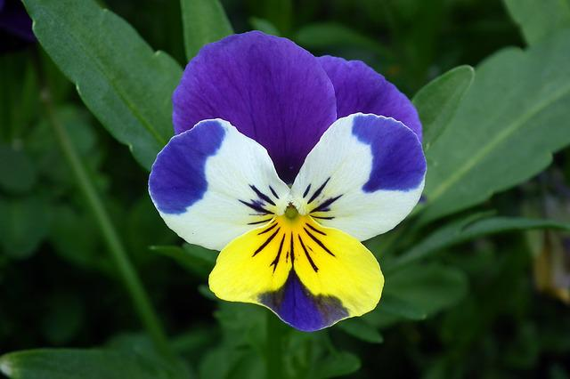 Nature, Flower, Pansy, Spring, Plant Closeup, Leaf