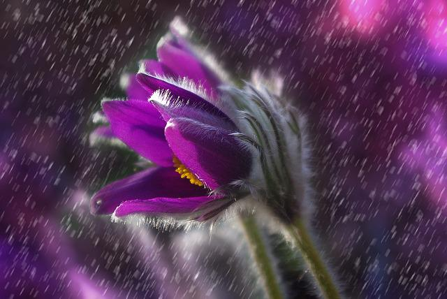 Pasque Flower, Flower, Rain, Plant, Garden, Purple