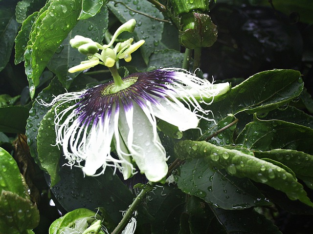Passion Flower, Flower, Passiflora