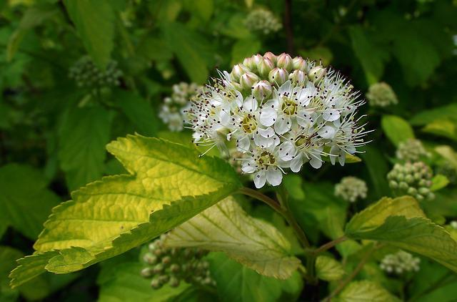 Nature, Plant, Leaf, Flower, Pęcherznica, Bush