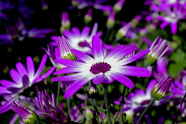 Pericallis, Garden Cineraria, Flower, Plant, Nature
