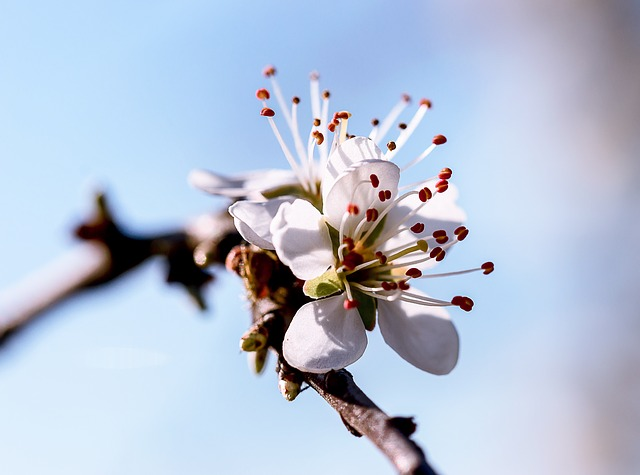 Flower, Tree, Cherry Wood, Nature, Branch, Petal