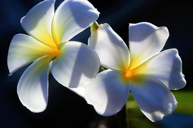 Flower, Plumeria, Petal, The Tropical, Floral, Exotic