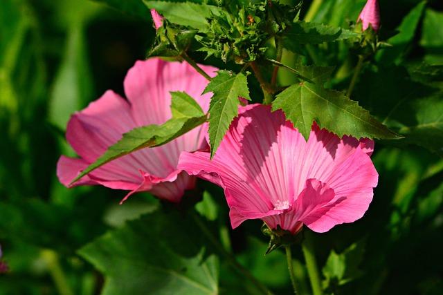Tree Mallow, Hibiscus, Flower, Plant, Petal, Pink