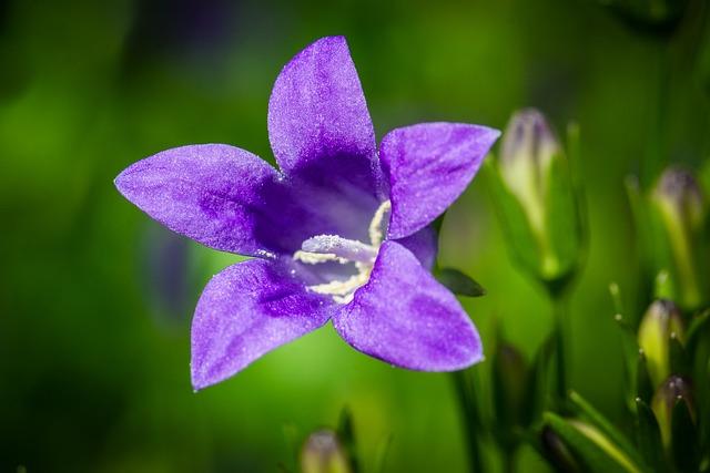 Bluebell, Flower, Plant, Petals, Purple Flower