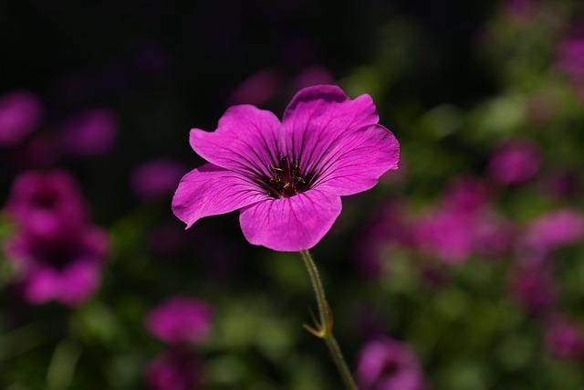 Flower, Cranesbill, Petals, Glandular Cranesbill