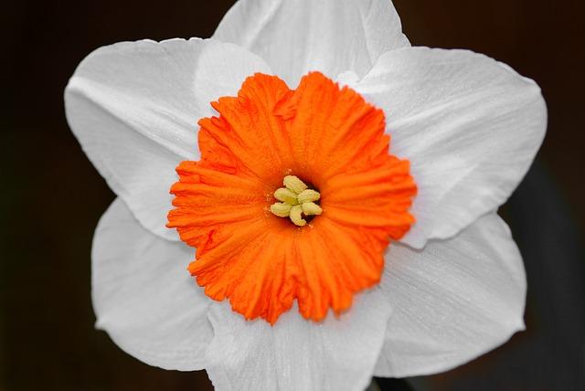 Flower, Daffodil, Petals, Bunch-flowered Daffodil