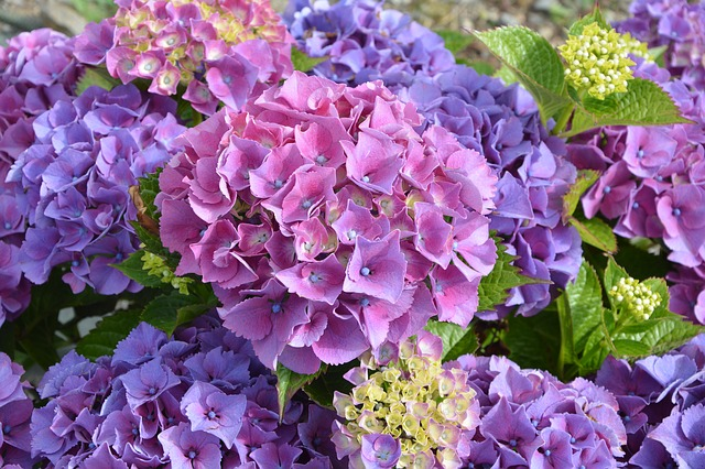 Hydrangea Purple Flower Petals Plant Flowering