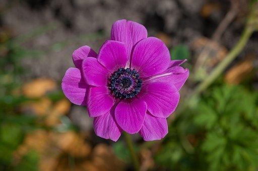 Flower, Pink, Blossom, Bloom, Petals, Violet, Fuchsia