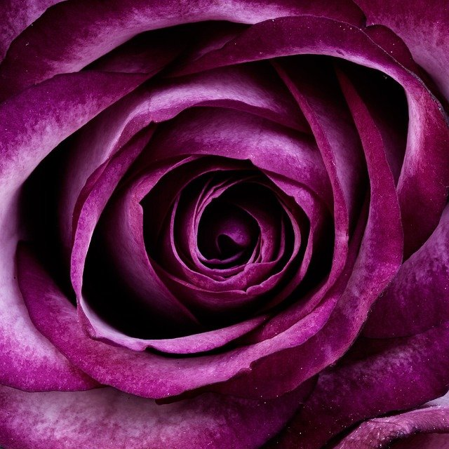 Flower, Rose, Petals, Purple Rose, Purple Flower