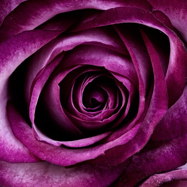 Flower, Rose, Petals, Purple Rose, Purple Flower