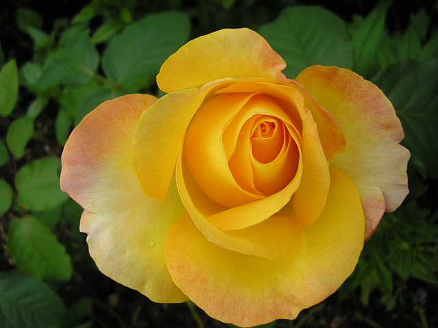 Rose, Flower, Yellow Rose, Petals, Garden