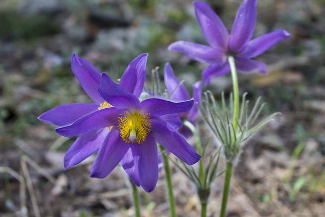 Spring, Cross Spring, Sleep-grass, Phlomis, Flower