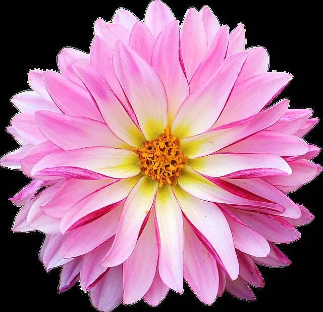 Dahlia, Flower, Pink, Yellow