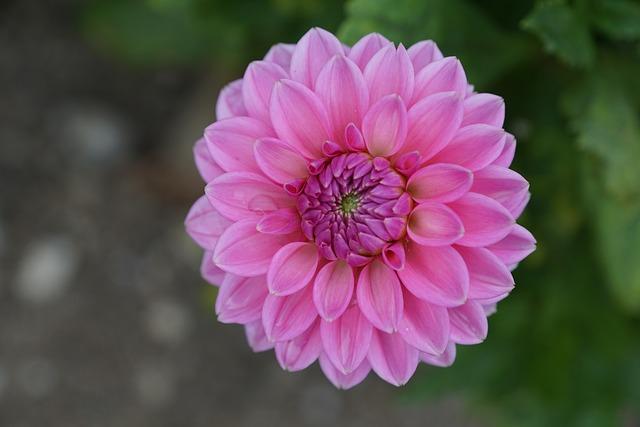 Dallie, Flower, Pink, Green