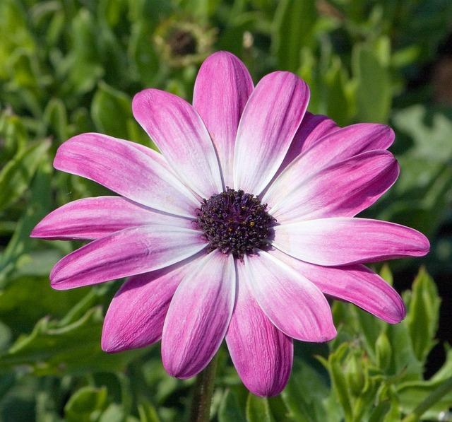 Flower, Pink, Daisy, Close-up, Details, Petals