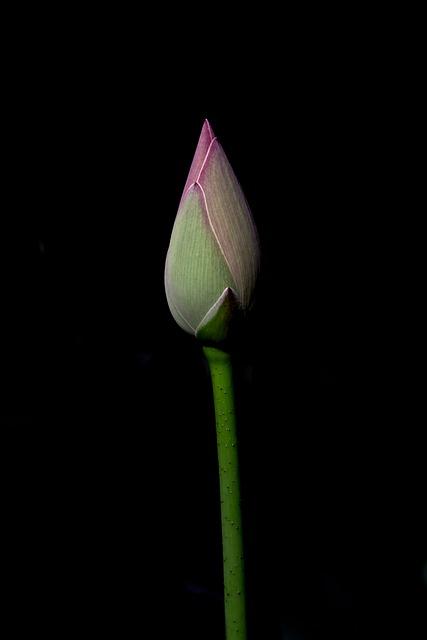 Flower, Lotus, Nature, Flowers, Spring, Pink, Plants
