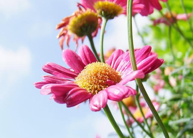 Flower, Marguerite, Pink, Blossom, Bloom, Plant, Nature