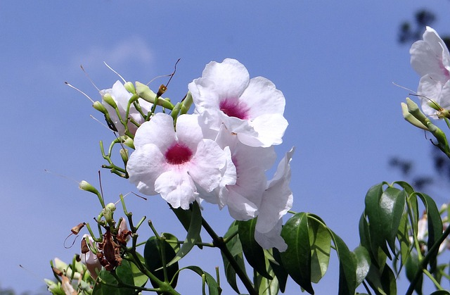 Pandorea Jasminoides, Bignoniaceae, Flower, Pink