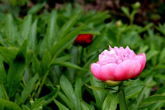 Rose, Pink, Pink Rose, Rose Bloom, Flower, Blossom