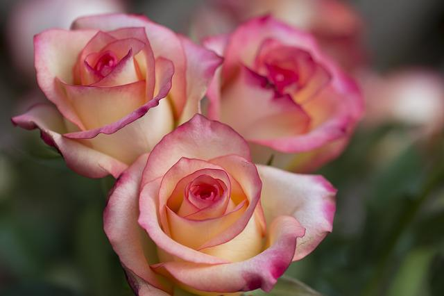 Roses, Rose, Flower, Close Up, Flowers, Bouquet, Pink