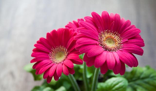 Flower, Spring, Summer, Gerbera, Beautiful, Pink