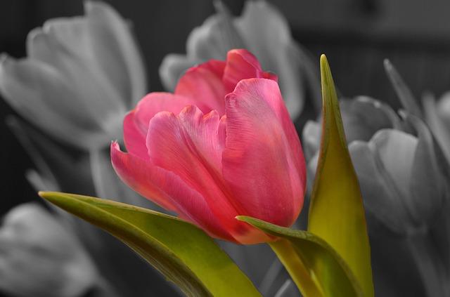 Flower, Tulip, Pink