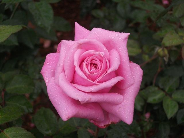 Flower, Rose, Pink, Wet