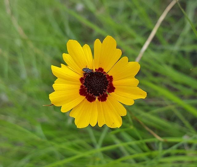 Flower, Yellow Flower, Tickseed, Plains Tickseed