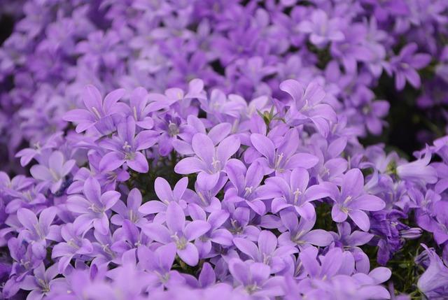 Flower, Plant, Bellflowers Purple, Purple Garden