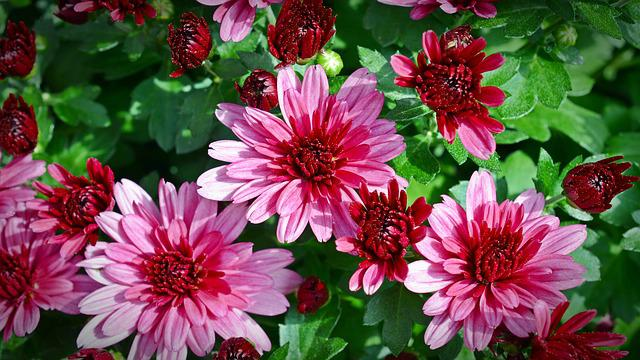 Chrysanthemums, Flower, Plant, Blossom, Bloom