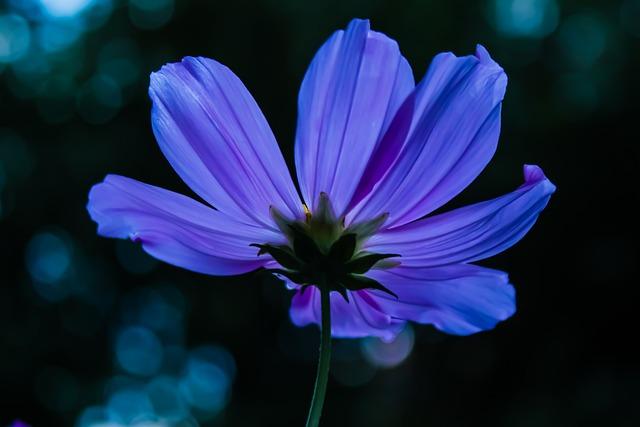 Cosmea, Cosmos, Blossom, Bloom, Flower, Plant