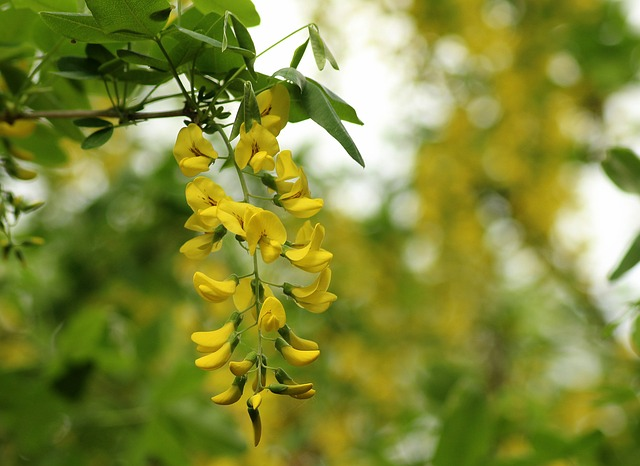 Wisteria Yellow, Creeper, Plant, Nature, Flower, Spring
