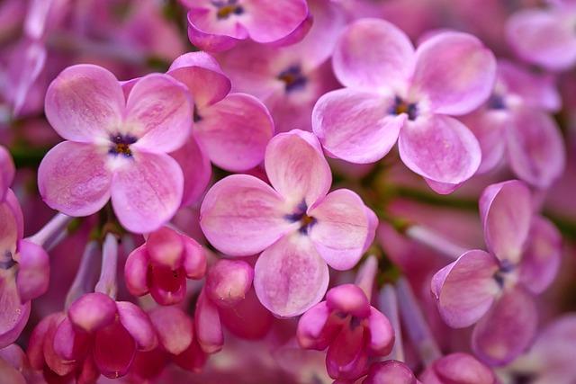 Flower, Nature, Plant, Color, Floral, Lilac, Petal