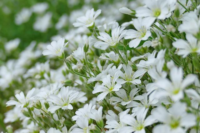 Cerastium Tomentosum, White, Flowers, Flower, Plant