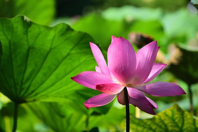 Plant, Leaf, Lotus, Flower, Nature