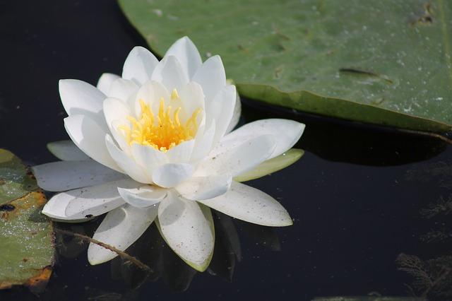 Lily, Lily Pad, Marsh, Flower, Water, Nature, Plant