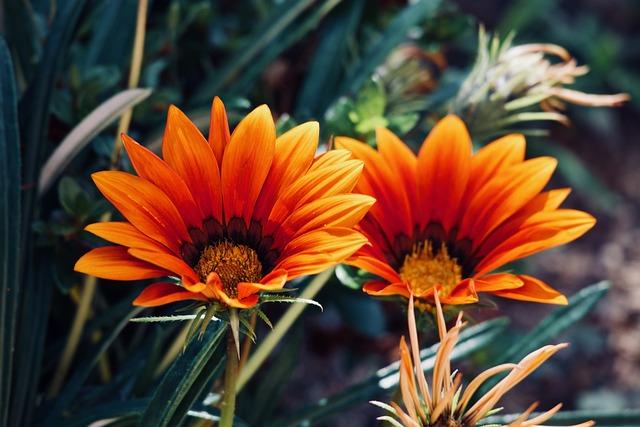 Margaret, Gazania, Flower, Plant, Nature, Garden