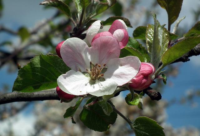 Tree, Flower, Apple, Branch, Nature, Plant