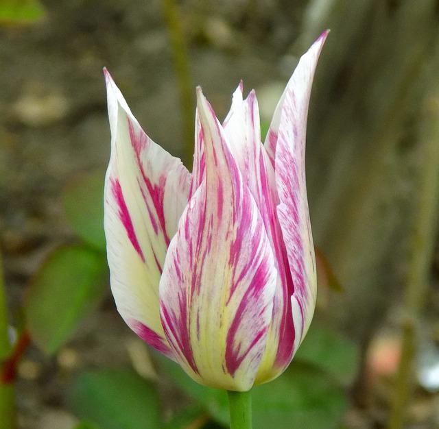 Tulip, Flower, Plant, Nature, Garden