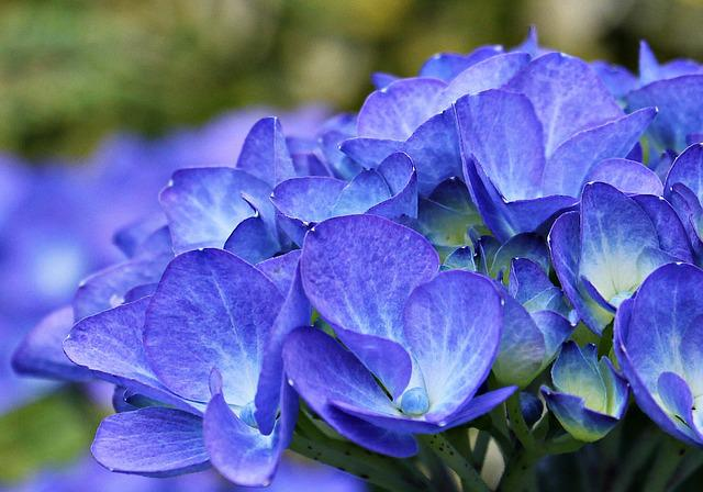 Hydrangea, Flower, Ornamental Flower, Plant