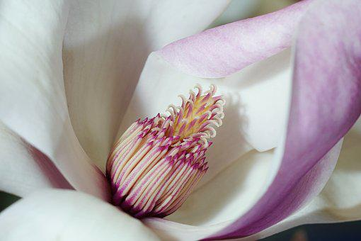 Flower, Plant, Nature, Petal, Tender, Magnolia, Macro
