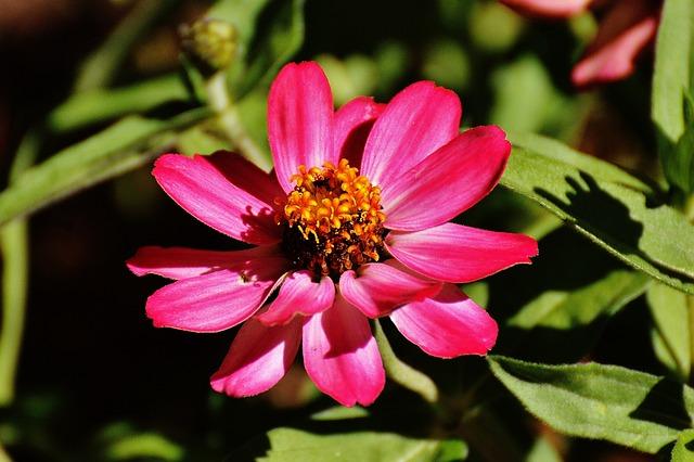 Zinnia, Flower, Pink, Plant, Summer