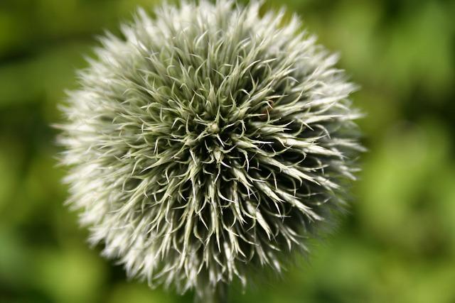 Thistle, Plant, Flower