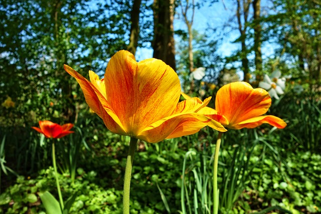 Tulip, Flower, Plant, Bulbous, Dutch, Typically Dutch