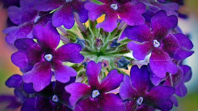 Verbena, Flowers, Violet, Plant, Nature, Flower